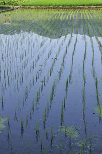 田んぼの稲の写真素材 [FYI04882092]