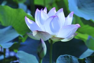 ハスの花の写真素材 [FYI04882095]