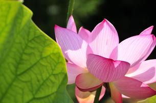 ハスの花の写真素材 [FYI04882097]