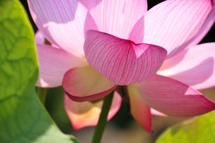 ハスの花の写真素材 [FYI04882099]