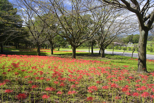 彼岸花咲く吉野公園の写真素材 [FYI04882318]
