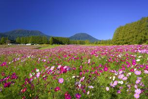 コスモス咲く秋の生駒高原の写真素材 [FYI04882325]