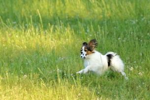 初夏の公園で遊ぶパピヨンの写真素材 [FYI04883095]