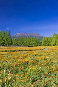 ポピー咲く春の生駒高原の写真素材 [FYI04883140]