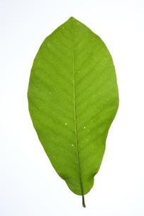 ホオノキの葉の写真素材 [FYI04883159]