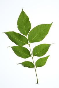 キハダの葉の写真素材 [FYI04883161]