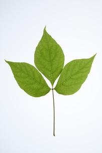 タカノツメの葉の写真素材 [FYI04883166]