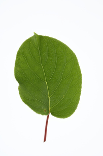 サルナシの葉の写真素材 [FYI04883188]