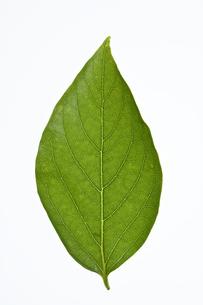 カキノキの葉の写真素材 [FYI04883198]