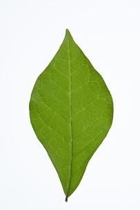 コクサギの葉の写真素材 [FYI04883199]