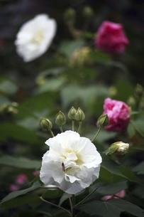 フヨウ・酔芙蓉の花の写真素材 [FYI04883393]