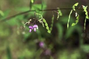 山野草・ヌスビトハギの花と実の写真素材 [FYI04883399]
