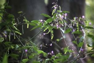 山野草・ヌスビトハギの花と実の写真素材 [FYI04883400]