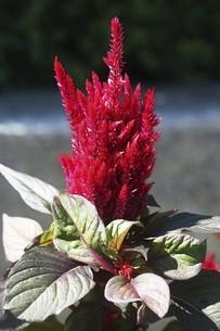 ケイトウの赤い花の写真素材 [FYI04883411]