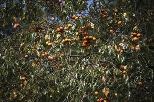 山柿が熟す頃の写真素材 [FYI04883449]