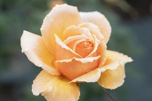 だいだい色のバラの花の写真素材 [FYI04883817]