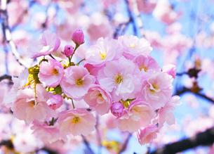 浜離宮恩賜庭園の八重桜の写真素材 [FYI04883874]