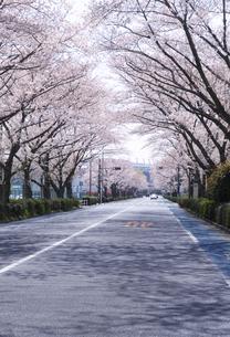 スタジアム通りと桜並木の写真素材 [FYI04883879]