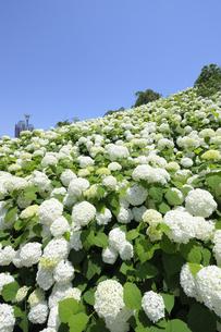 お台場シンボルプロムナード公園の紫陽花の写真素材 [FYI04883924]