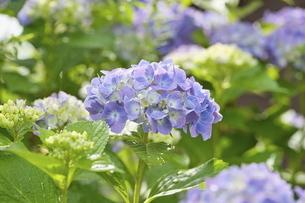 紫陽花の写真素材 [FYI04884326]