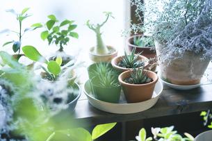窓辺に並べられた植物の鉢の写真素材 [FYI04884545]