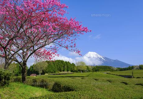 静岡県 花桃と茶畑と富士山の写真素材 [FYI04884593]