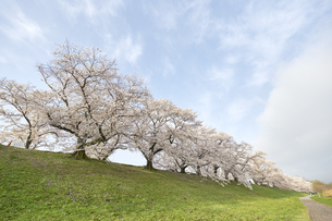 淀川河川公園,背割堤の写真素材 [FYI04884687]