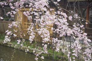 京都白川の桜の写真素材 [FYI04884713]