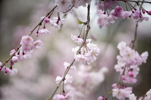 京都白川の桜の写真素材 [FYI04884714]