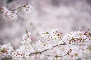 円山公園のしだれ桜の写真素材 [FYI04884733]
