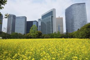 浜離宮恩賜庭園の菜の花畑の写真素材 [FYI04884949]