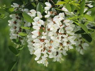 ニセアカシアの花の写真素材 [FYI04884965]