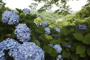 鎌倉源氏山の紫陽花と眺望の写真素材 [FYI04885472]