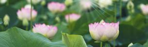 バナーサイズに切り抜いた満開のハスの花画像の写真素材 [FYI04885630]
