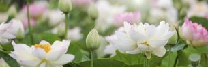 バナーサイズに切り抜いた満開のハスの花画像の写真素材 [FYI04885631]