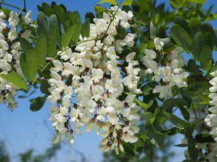 ニセアカシアの花の写真素材 [FYI04885679]