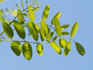 ニセアカシアの葉の写真素材 [FYI04885681]
