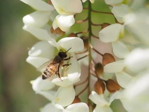 ニセアカシアの蜜を集めるミツバチの写真素材 [FYI04885683]
