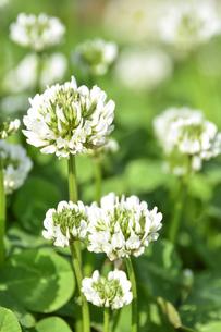 クローバー(シロツメクサ・白詰草・マメ科・常緑多年草)の白色の花と葉の写真素材 [FYI04885847]