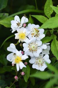 ノイバラ(バラ科落葉性つ性低木)の白い花とつぼみと葉の写真素材 [FYI04885858]