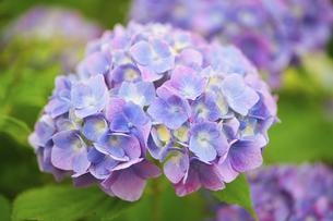 紫陽花の写真素材 [FYI04886013]