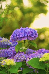 紫陽花の写真素材 [FYI04886014]