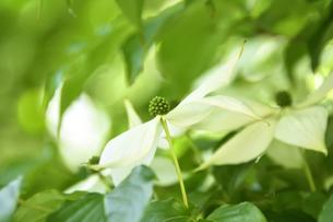 ヤマボウシ(ミズキ科サンシュユ属)の白い花(花弁ではなく総苞片で花の付け根の葉)の写真素材 [FYI04886319]