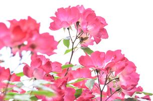 バラ(バラ科バラ属)の赤色の花と葉の写真素材 [FYI04886364]