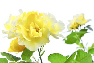 バラ(バラ科バラ属)の黄色の花と葉の写真素材 [FYI04886399]