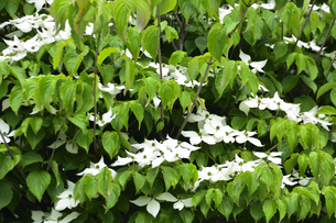 ヤマボウシ(ミズキ科サンシュユ属)の白い花(花弁ではなく総苞片で花の付け根の葉)の写真素材 [FYI04886405]