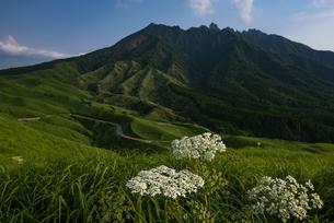 熊本県 根子岳を背景に咲く箱石峠のハナウドの写真素材 [FYI04886687]