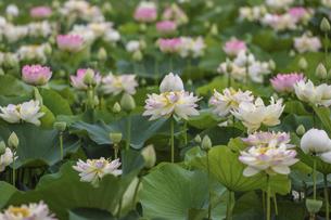 満開のハスの花の写真素材 [FYI04886939]