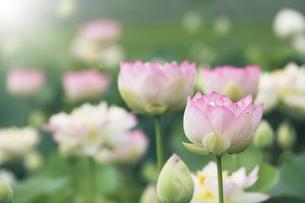 満開のハスの花の写真素材 [FYI04886948]