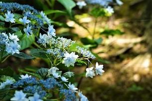 木漏れ日と紫陽花。の写真素材 [FYI04887081]
